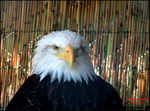 Title: Rescued American Bald Eagle