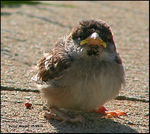 Title: Grumpy the Baby Sparrow