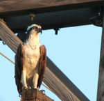 Title: Osprey Watching