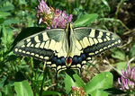 Title: Machaon (by mobile)