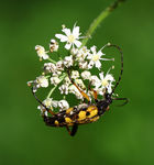 Title: Spotted Longhorn