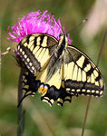 Title: Papilio machaon?