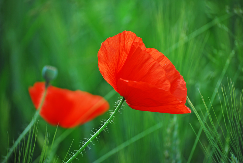 The beauty of a common red poppy
