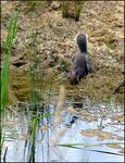 Title: Grey Squirrel drinking at pond