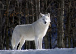 Title: Artic Wolf