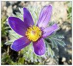 Title: PASQUEflower