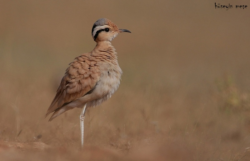 Colkosari / Cream-coloured courser