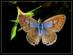 Title: Leptotes pirithous open wings