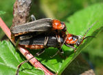 Title: Cantharis rustica