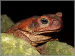 Title: Cane toad