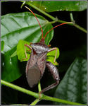 Title: Leaf-footed bug