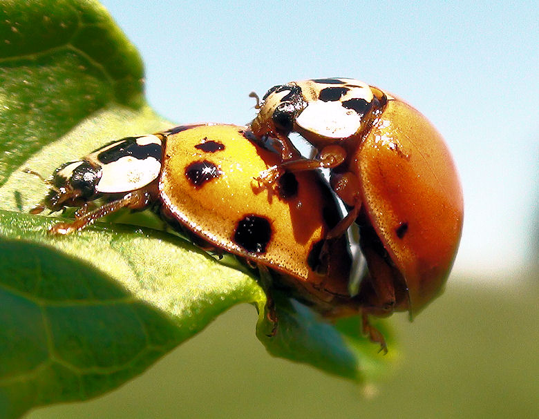 Time of love - Harmonia axyridis