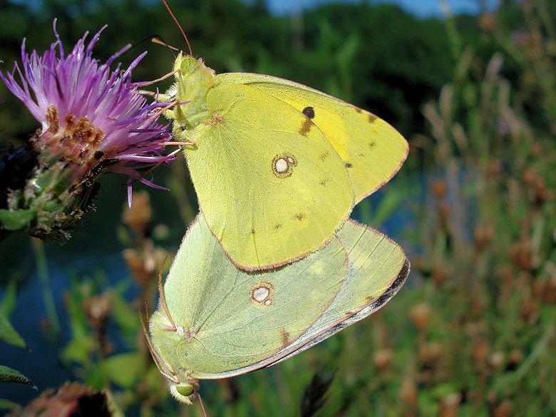 Time of love - Colias croceus