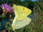 Title: Time of love - Colias croceus
