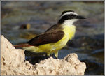Title: Great Kiskadee