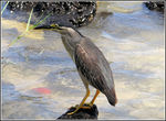 Title: Striated Heron