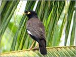 Title: Common Myna