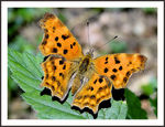 Title: Polygonia C new generation