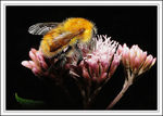 Title: A furry bumblebee