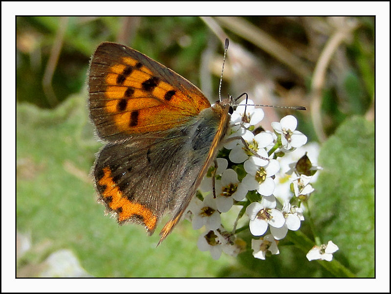 Tunisian Small Copper