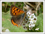 Title: Tunisian Small Copper