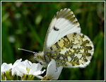 Title: Anthocharis cardamines female