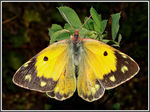 Title: Colias Crocea female