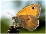 Title: Coenonympha pamphilus