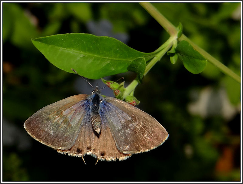 Leptotes open wings