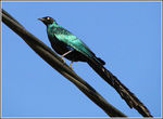 Title: Long-tailed Glossy Starling