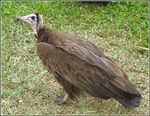 Title: Hooded Vulture 2