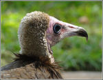 Title: Hooded Vulture