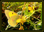 Title: November,the 11.Colias time!