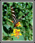 Title: 500 - Heliconius charithonia