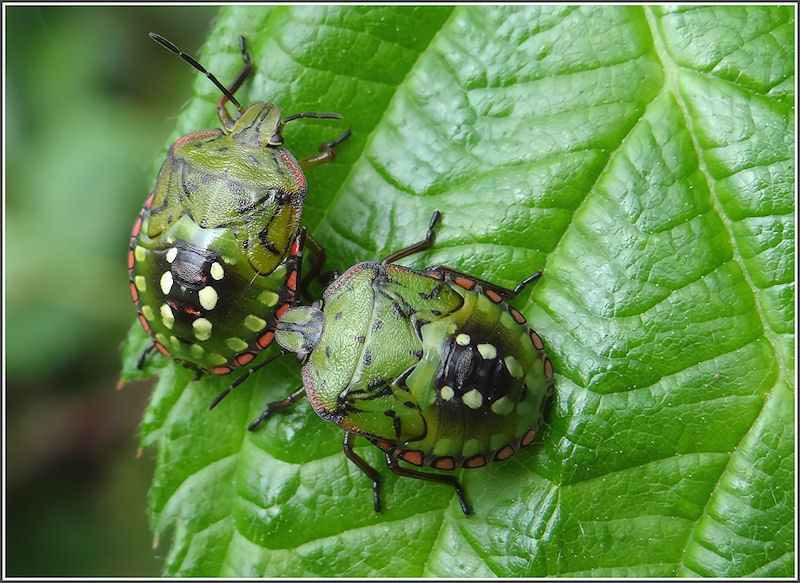 Nymphs of Green stink bug