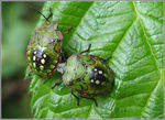 Title: Nymphs of Green stink bug