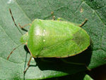 Title: Green stink bug