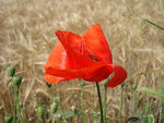 Title: Poppy in the wind
