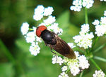 Title: Big-headed fly