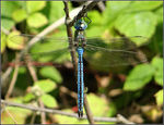 Title: Anax imperator