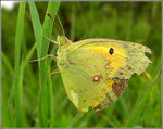 Title: Old Colias