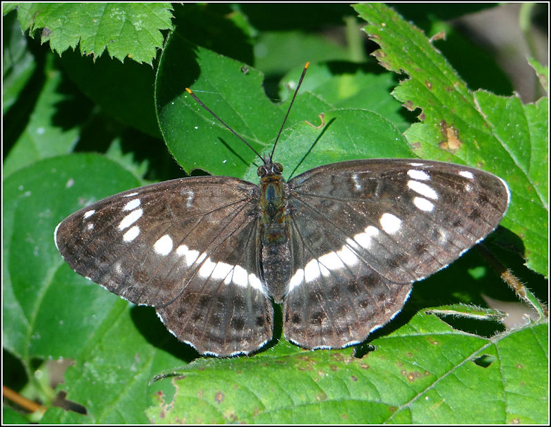 Limenitis camilla up