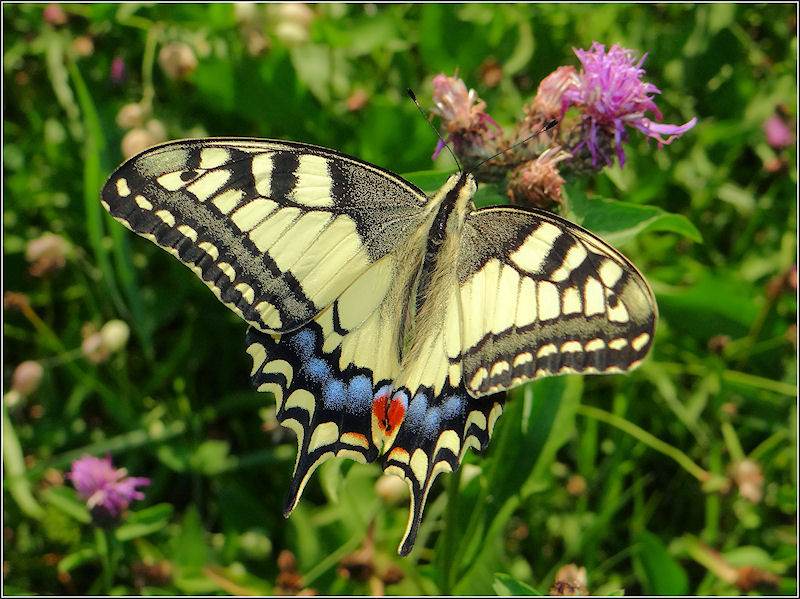 Papilio machaon up
