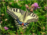 Title: Papilio machaon up