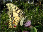 Title: Papilio machaon down