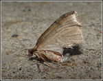 Title: The first moth from Iceland
