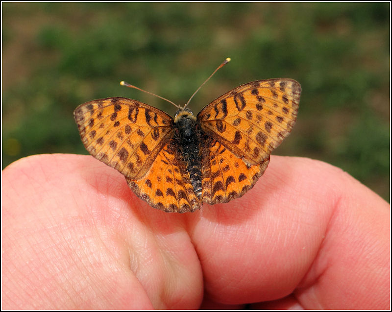 A friendly fritillary