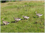 Title: Greylag geese