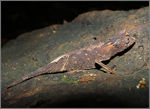 Title: Brookesia stumpffi