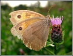 Title: The last Meadow brown